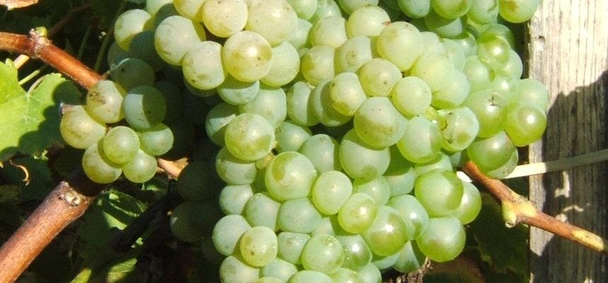 Grappe, raisins, vignes, Entraygues-Le Fel